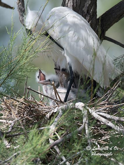 Aigrette au nid & ses Poussins