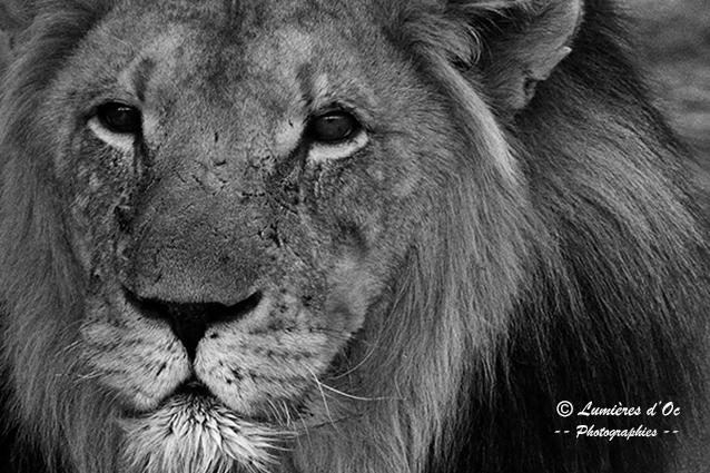 Lion Kalahari Namibie