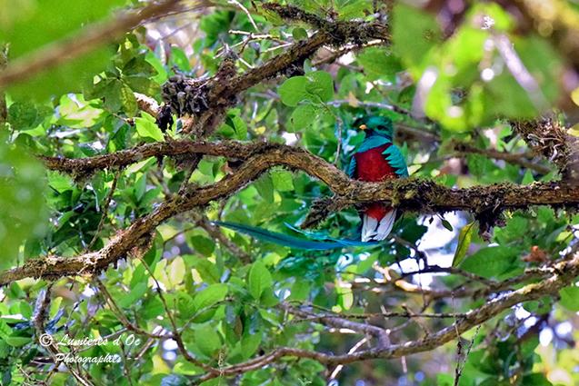 Quetzal Resplendissant Costa Rica