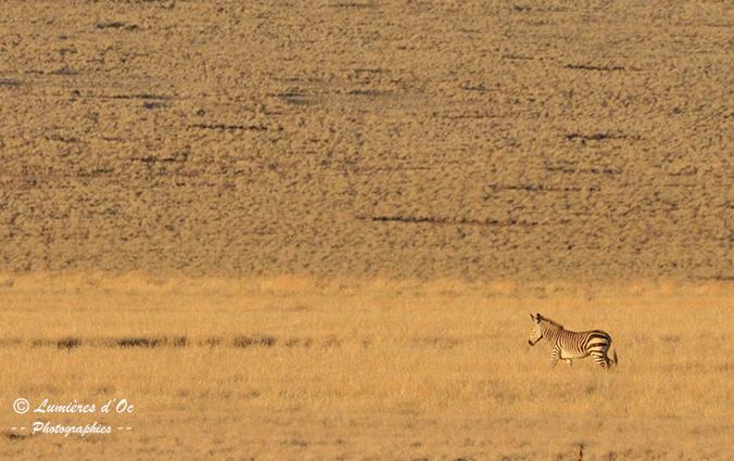 Zèbre de Hartmann Namibie