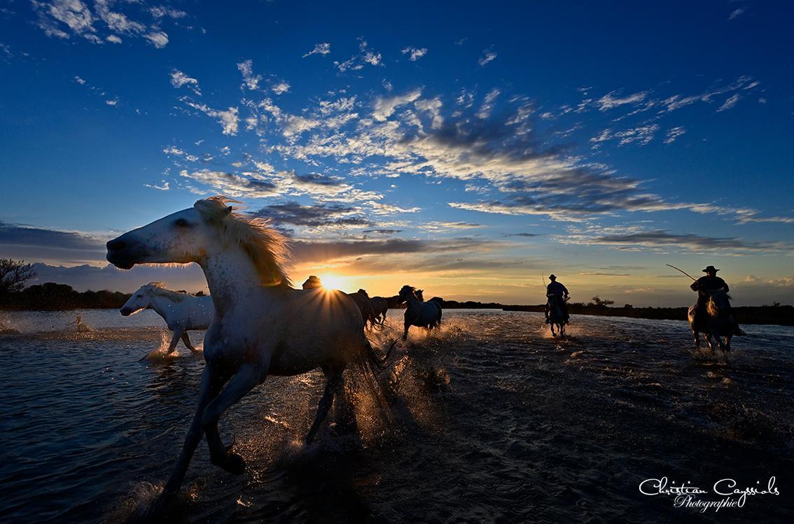 Chevaux camargue dans les marais