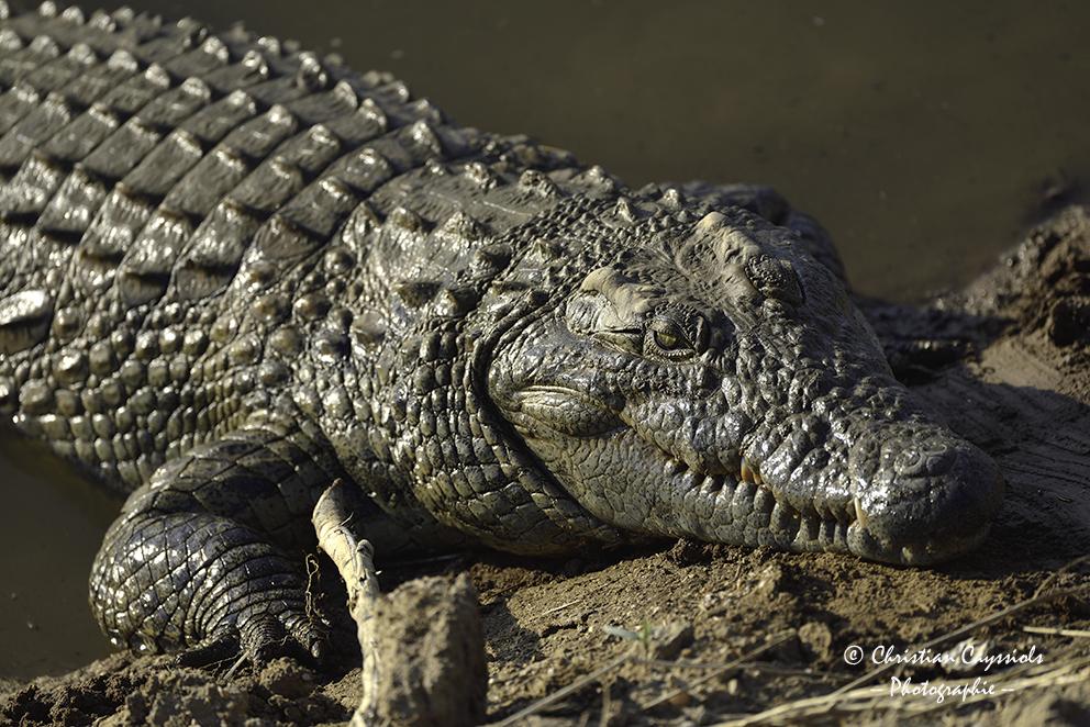 Crocodile, un peu trop près...