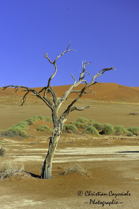 Desert du Namib acacia erioloba