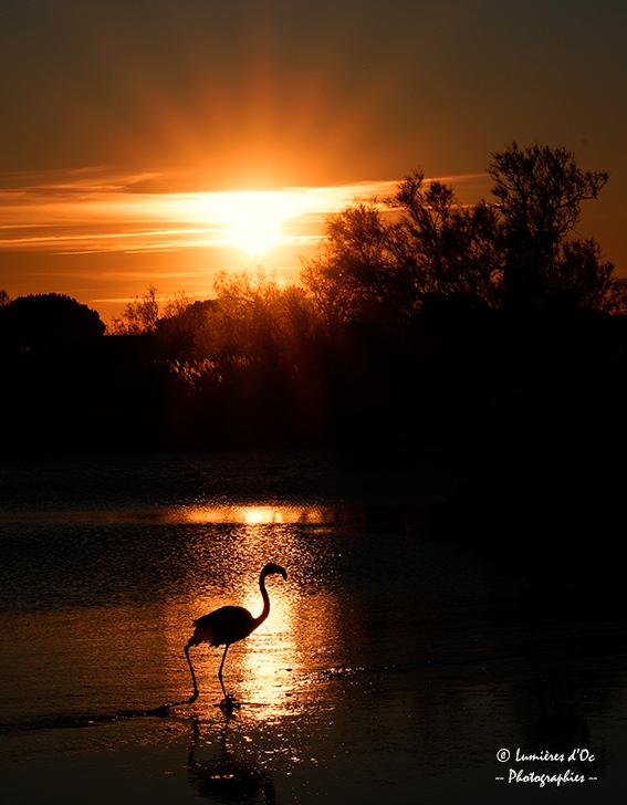Flamant coucher de soleil