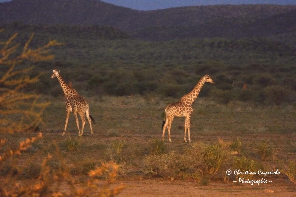 Girafes au coucher
