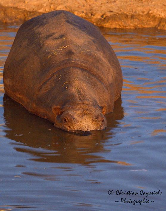 Hippo au bain