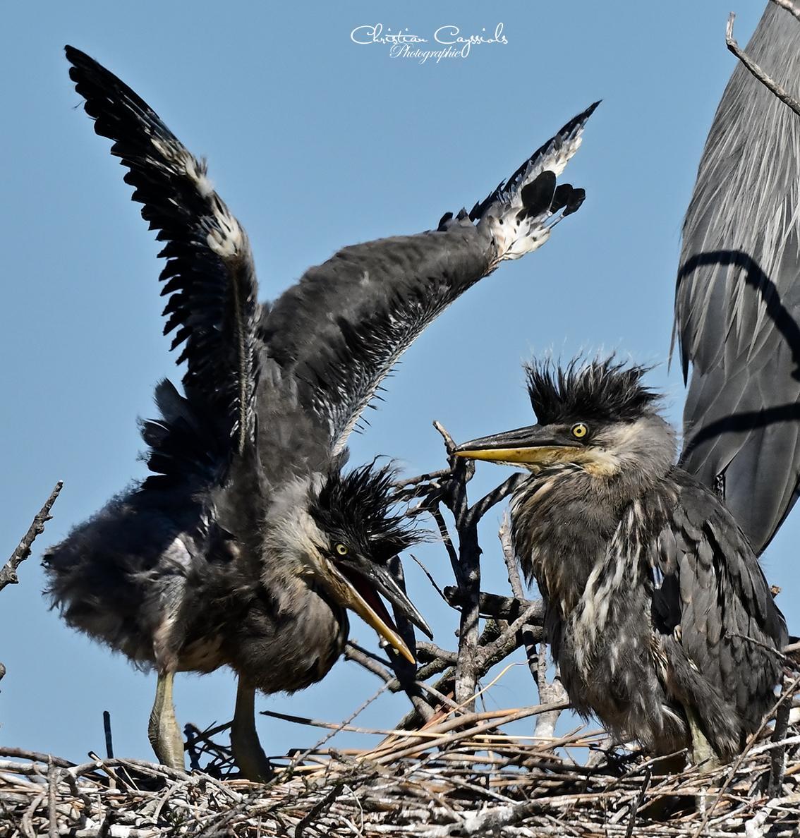 Jeunes herons au nid