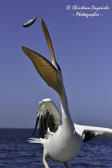 Pelican à la pêche